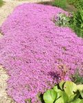 Photo Creeping Phlox, Moss Phlox, pink