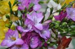 Photo Freesia, lilac