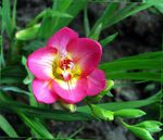 Photo Freesia, pink
