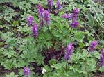 Photo Corydalis, purple