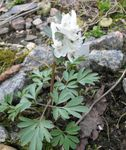 Photo Corydalis, white