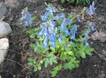 Photo Corydalis, light blue