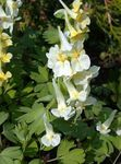 Photo Corydalis, yellow