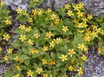 Photo Goldenstar, Green-and-gold, yellow