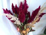 Photo Cockscomb, Plume Plant, Feathered Amaranth, burgundy