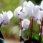 Photo Sow Bread, Hardy Cyclamen, white