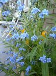 Photo Hound's Tongue, Gypsyflower, Chinese Forget-Me-Not, light blue