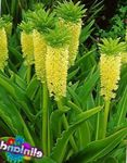Photo Pineapple Flower, Pineapple Lily, yellow