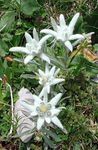 Photo Edelweiss, white
