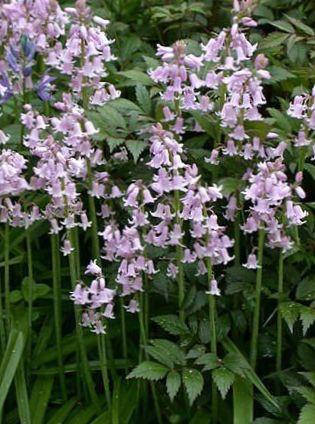 Foto espa ol bluebell jacinto madera lila for Jacinto planta interior