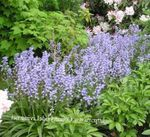Photo Spanish Bluebell, Wood Hyacinth, light blue