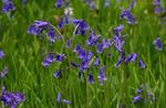 Photo Spanish Bluebell, Wood Hyacinth, blue