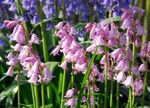 Photo Spanish Bluebell, Wood Hyacinth, pink