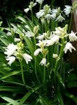 Photo Spanish Bluebell, Wood Hyacinth, white