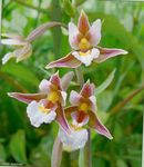 Photo Marsh Helleborine, Swamp Epipactis, pink