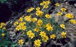 Photo Oregon Sunshine, Woolly Sunflower, Woolly Daisy, yellow