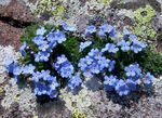 Photo Arctic Forget-me-not, Alpine forget-me-not, light blue