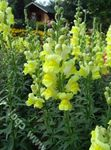 Photo Snapdragon, Weasel's Snout, yellow