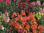 Photo Snapdragon, Weasel's Snout, orange