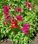 Photo Snapdragon, Weasel's Snout, red