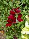 Photo Snapdragon, Weasel's Snout, burgundy