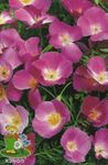 Photo California Poppy, lilac