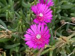Photo Hardy Ice Plant, pink