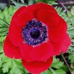 Photo Crown Windfower, Grecian Windflower, Poppy Anemone, red