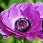 Photo Crown Windfower, Grecian Windflower, Poppy Anemone, lilac