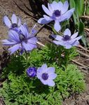 Photo Crown Windfower, Grecian Windflower, Poppy Anemone, light blue