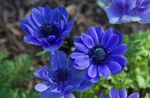 Photo Crown Windfower, Grecian Windflower, Poppy Anemone, blue
