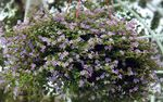 Photo Bacopa (Sutera), lilac