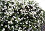 Photo Bacopa (Sutera), white