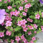 Photo Bacopa (Sutera), pink