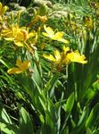 Photo Blackberry Lily, Leopard Lily, yellow