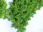 Photo Baby Sunrose, Heartleaf Ice Plant, red