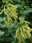 Photo Cape Fuchsia, yellow