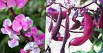 Photo Ruby Glow Hyacinth Bean, pink