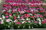 Photo Rose Periwinkle, Cayenne Jasmine, Madagascar Periwinkle, Old Maid, Vinca, pink