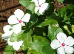 Photo Rose Periwinkle, Cayenne Jasmine, Madagascar Periwinkle, Old Maid, Vinca, white