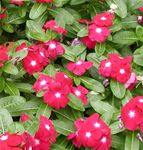 Photo Rose Periwinkle, Cayenne Jasmine, Madagascar Periwinkle, Old Maid, Vinca, red