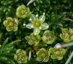 Photo Sandwort, green