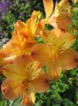 Photo Alstroemeria, Peruvian Lily, Lily of the Incas, orange