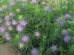 Photo Horned Rampion, lilac