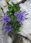 Photo Horned Rampion, light blue