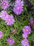 Photo Ice Plant, lilac