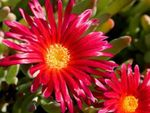 Photo Ice Plant, red