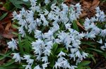 Photo Striped Squill, Snowdrift, Early Stardrift, light blue