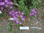 Photo Triteleia, Grass Nut, Ithuriel's Spear, Wally Basket, lilac