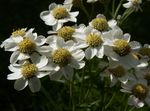 Photo Sneezewort, Sneezeweed, Brideflower, white